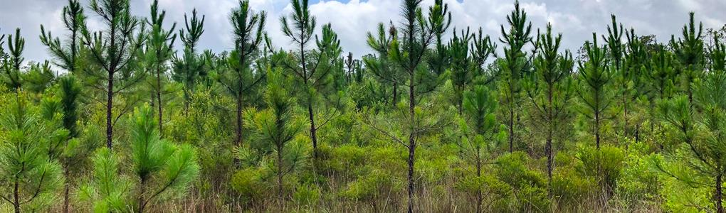 Timber Investment Nat Forest Front : Telogia : Liberty County : Florida