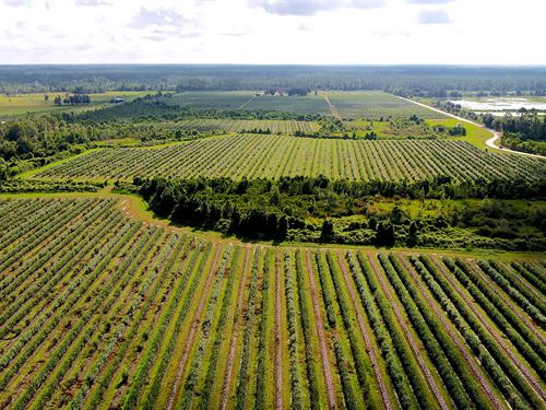 Miller Blueberry Farm : Interlachen : Putnam County : Florida
