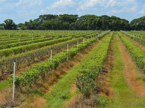 Zellwood Blueberry Farm : Mt Dora : Orange County : Florida