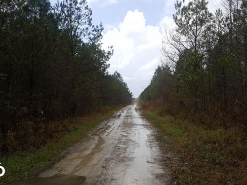 Loblolly Pine Plantation Hunting LA : Burgaw : Pender County : North Carolina