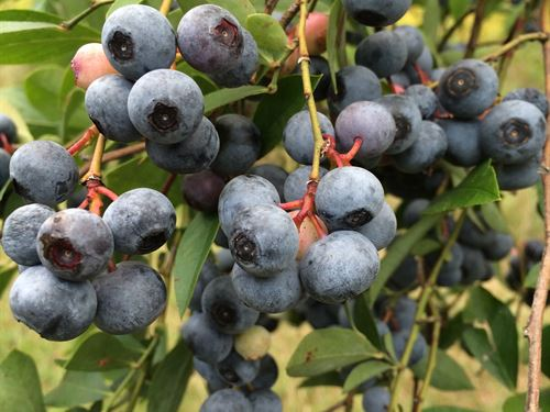 Rhondas Blueberries Farm : Union Point : Oglethorpe County : Georgia