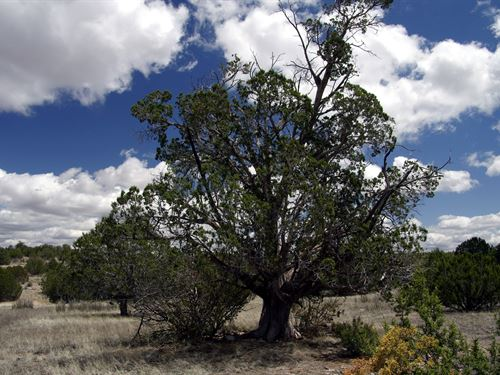 Mature Trees, Road Access, 145/Mo : Seligman : Yavapai County : Arizona