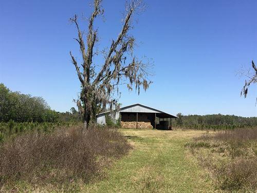 Pine Plantation On Paved Road : Live Oak : Suwannee County : Florida