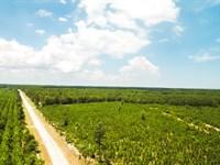 Pine Plantation At Shellman Bluff : Darien : McIntosh County : Georgia