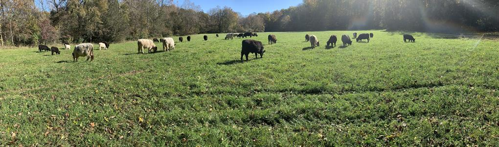 Turn-Key Grass Fed Cow / Calf : Greencastle : Putnam County : Indiana