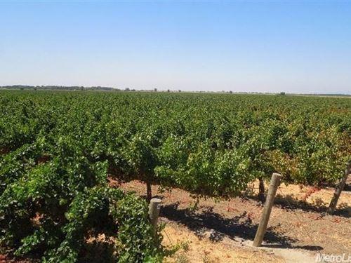 Northern California Vineyard : Clarksburg : Yolo County : California