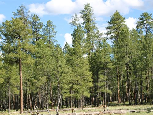 40 Acres of Tall Pine Wilderness : Happy Jack : Coconino County : Arizona