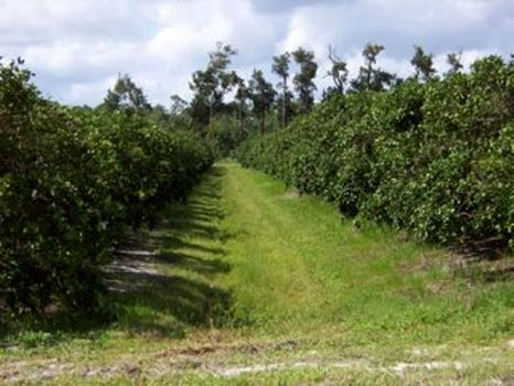 Fellsmere 78.53 Acres : Fellsmere : Indian River County : Florida
