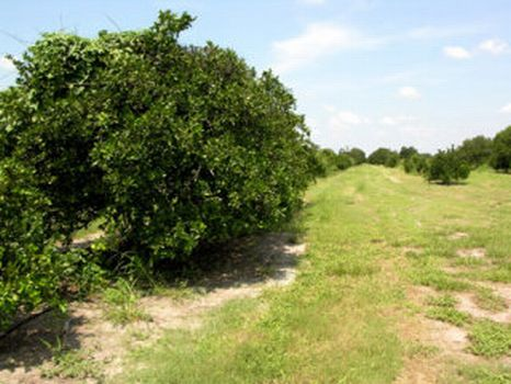 Grove & Development : Wauchula : Hardee County : Florida