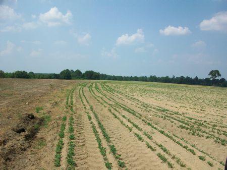 85 Acre Farm : Rochelle : Wilcox County : Georgia