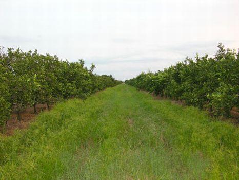 Producing Hamlin Grove - SR 66 : Zolfo Springs : Hardee County : Florida