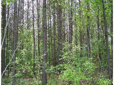 95.7 Acres of 17 Year Old Pine : Union : Newton County : Mississippi