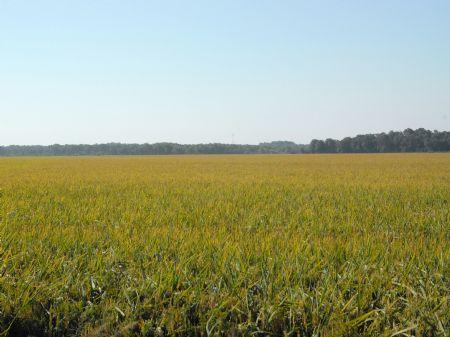 793+/- Acre Rice Farm : Clarendon : Monroe County : Arkansas