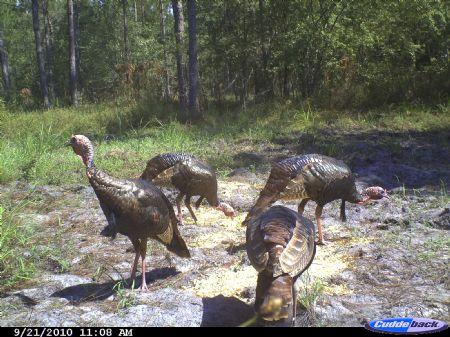 180 Acre Big Buck Tract : Coolidge : Thomas County : Georgia