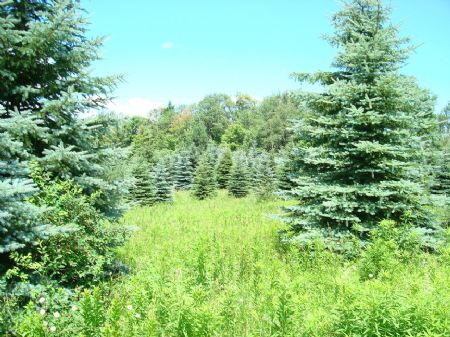 Country Building Lot With Evergreen : Van Etten : Chemung County : New York