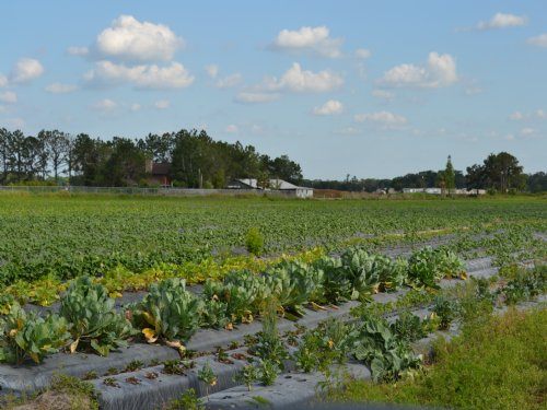 Johnson Road Strawberry Farm : Plant City : Hillsborough County : Florida