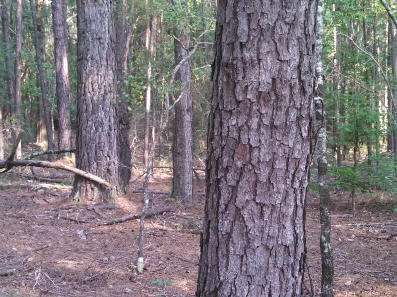 55 Acres Of Big Bucks And Timber : Abbeville : Wilcox County : Georgia