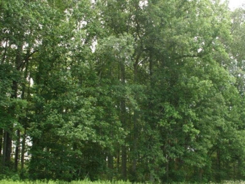 63.7 Ac W/ Great Timber On Edgar Rd : Ruther Glen : Caroline County : Virginia