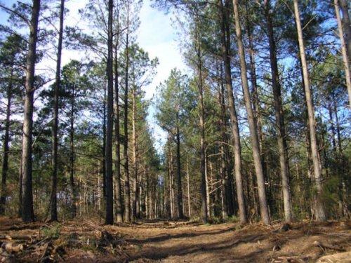 Pamplin Pinewood : Pamplin : Prince Edward County : Virginia