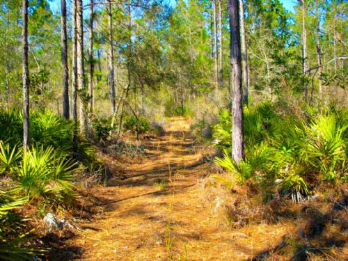 Long Pines : Ludowici : Long County : Georgia