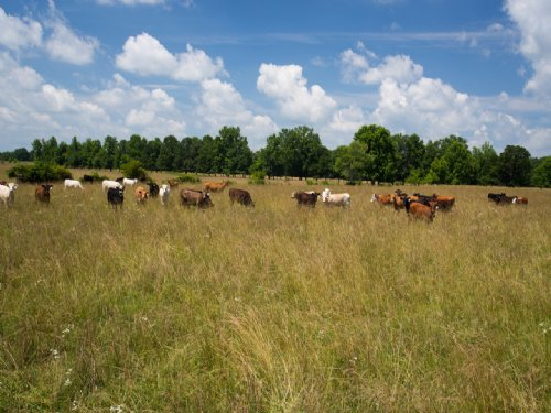 258 Acre Fenced Cattle Farm : Hohenwald : Lewis County : Tennessee
