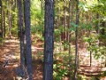 Timbered 5 Acres, $495 Down : White Plains : Greene County : Georgia