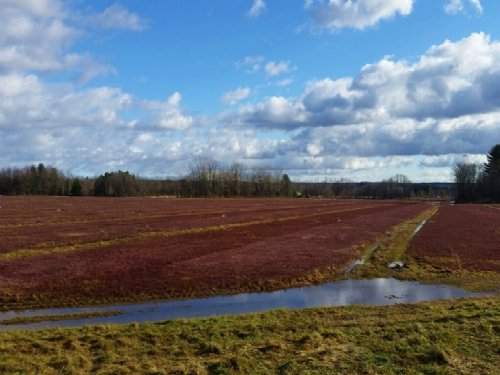 Cranberry Farm In Full Production : Williamstown : Oswego County : New York