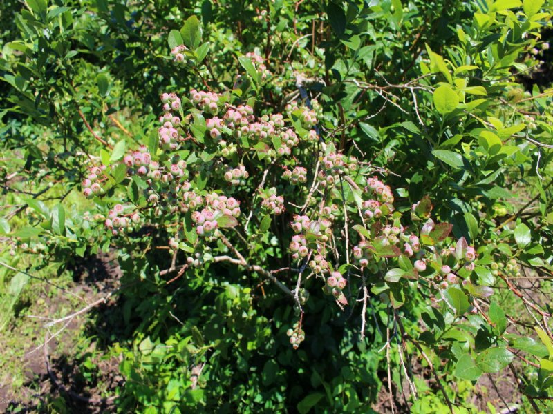 62 Acres 32 Acres Of Blueberries Land For Sale Bangor