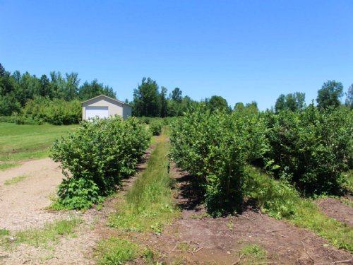 Bluberry Growing Property : Bangor : Van Buren County : Michigan