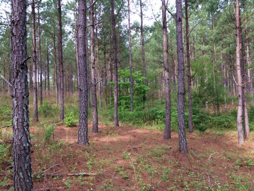 93 Acres Planted Timber : Cedartown : Polk County : Georgia