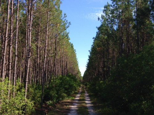 669 Acres Of Great Hunting/timber : Homerville : Clinch County : Georgia