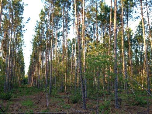 Little Scrub Island Plantation : Waycross : Ware County : Georgia