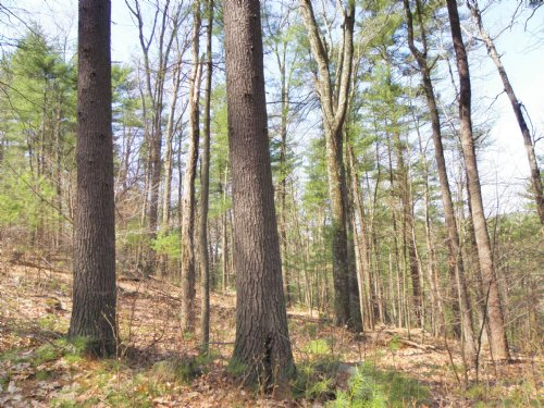 Peppers Mill Forest : Ware : Hampshire County : Massachusetts