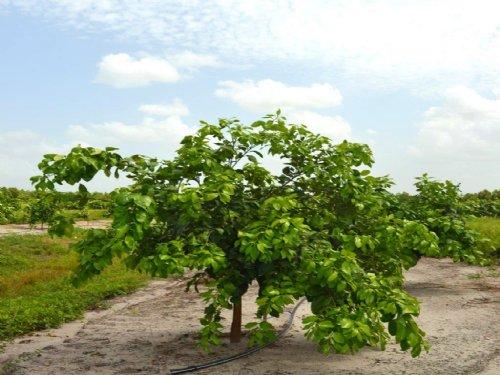 Indian River Grove : Vero Beach : Indian River County : Florida