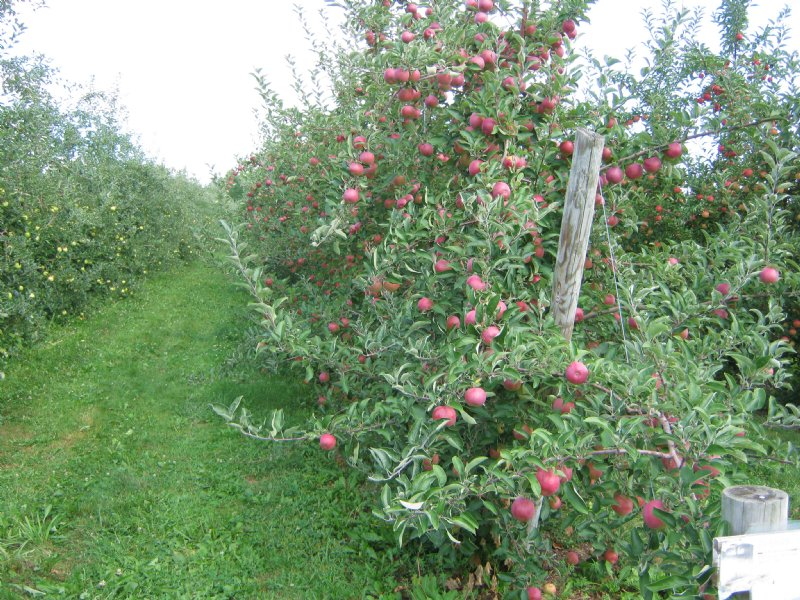 U Pick Apple Orchard With Financing : Dix : Schuyler County : New York