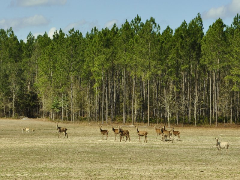 Gum Creek Preserve - Game-fenced Pr : Greenville : Madison County : Florida