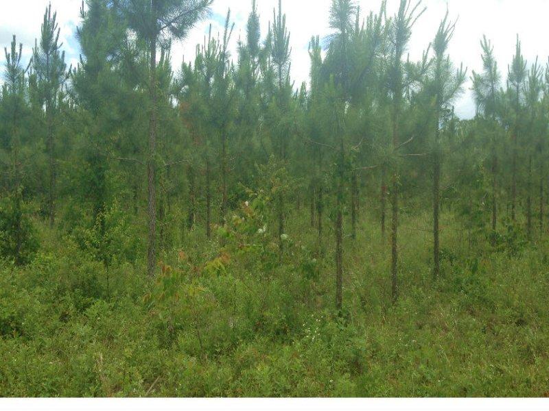 73.5 Acres W/5 Year Old Slash Pine : McAlpin : Suwannee County : Florida