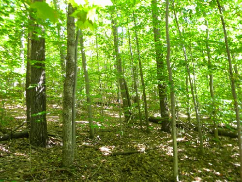 Hunting Land Harvestable Maple : Richford : Tioga County : New York