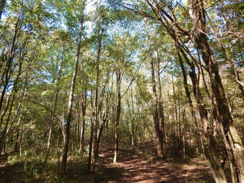 75.00 Acres Hunting Land, Timber : Osyka : Pike County : Mississippi