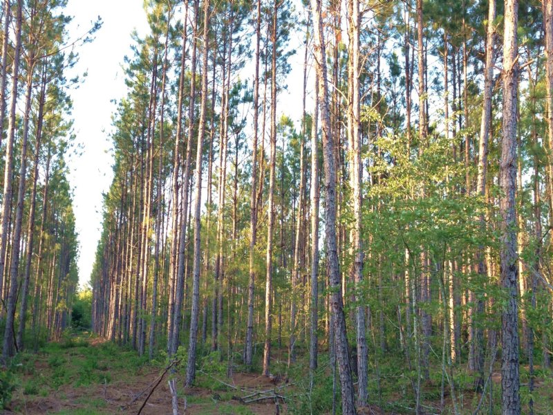 24 Acres Of Planted Pine : Waycross : Ware County : Georgia