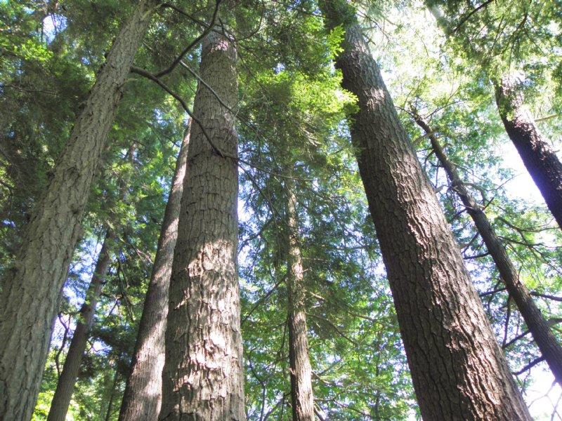 Sears Meadow Forest : Ashfield : Franklin County : Massachusetts
