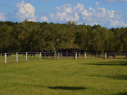 Sullivan Cattle Farm : Quincy : Gadsden County : Florida