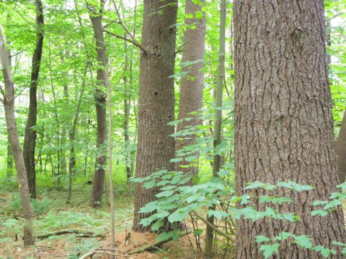 Baldy Mountain Forest : Tyringham : Berkshire County : Massachusetts