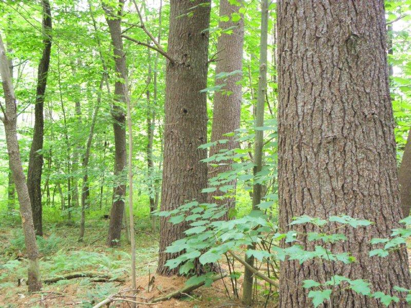 Baldy Mountain Forest : Tyringham : Berkshire County : Massachusetts